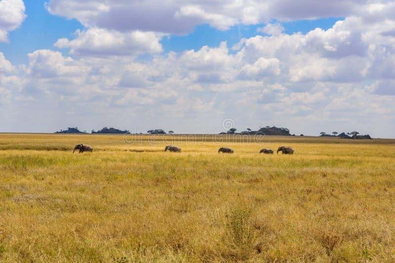Afrikanischer Elefant-Herde in der Savanne von Serengeti bei Sonnenuntergang Akazienb?ume auf den Ebenen in Nationalpark Serenget lizenzfreie stockfotografie
