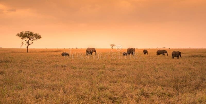 Afrikanischer Elefant-Herde in der Savanne von Serengeti bei Sonnenuntergang Akazienb?ume auf den Ebenen in Nationalpark Serenget lizenzfreie stockbilder