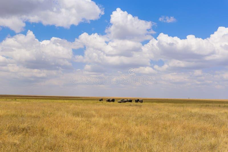 Afrikanischer Elefant-Herde in der Savanne von Serengeti bei Sonnenuntergang Akazienb?ume auf den Ebenen in Nationalpark Serenget lizenzfreies stockbild