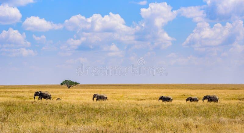 Afrikanischer Elefant-Herde in der Savanne von Serengeti bei Sonnenuntergang Akazienb?ume auf den Ebenen in Nationalpark Serenget stockfotos