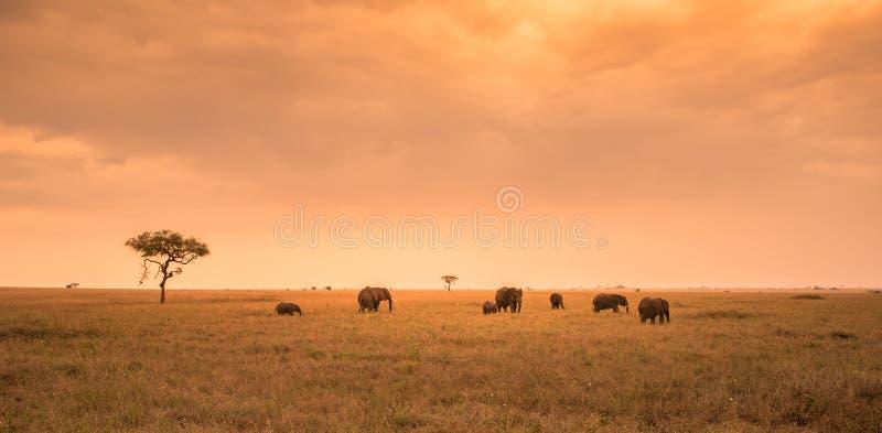 Afrikanischer Elefant-Herde in der Savanne von Serengeti bei Sonnenuntergang Akazienb?ume auf den Ebenen in Nationalpark Serenget stockbilder