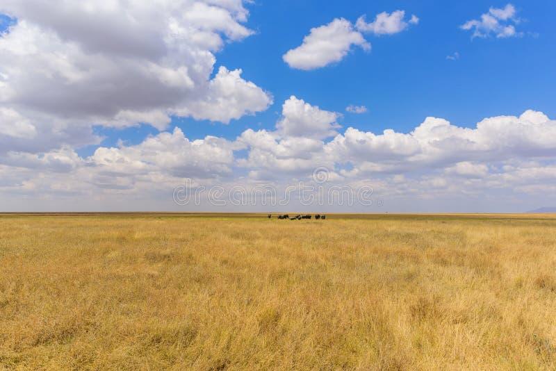 Afrikanischer Elefant-Herde in der Savanne von Serengeti bei Sonnenuntergang Akazienb?ume auf den Ebenen in Nationalpark Serenget lizenzfreies stockfoto