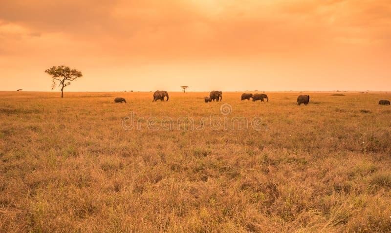 Afrikanischer Elefant-Herde in der Savanne von Serengeti bei Sonnenuntergang Akazienb?ume auf den Ebenen in Nationalpark Serenget stockbild