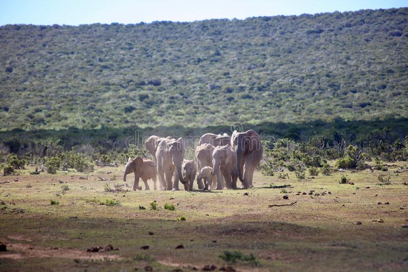 Afrikanischer Elefant-Herden-Betrieb stockfotografie