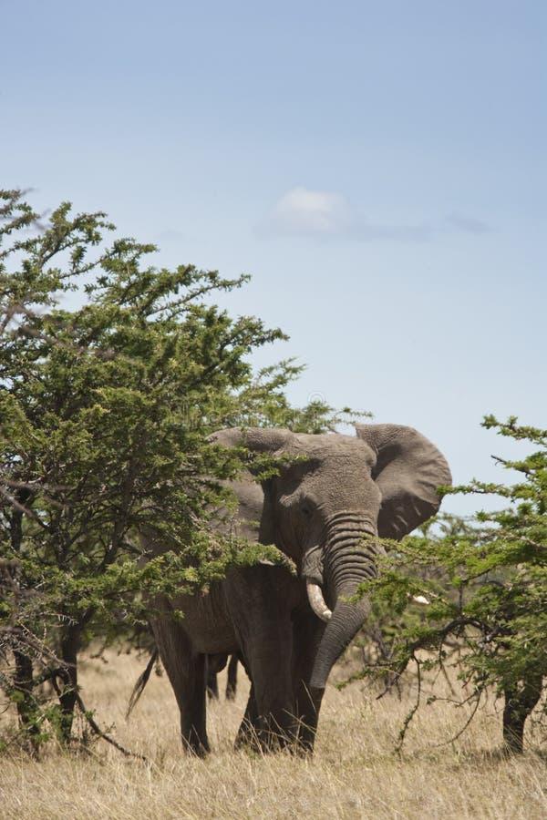 Afrikanischer Elefant hinter dem Busch, Kenia stockfoto