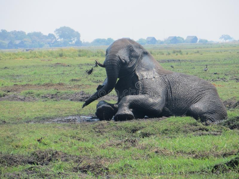 Afrikanischer Elefant im Schlamm stockbild