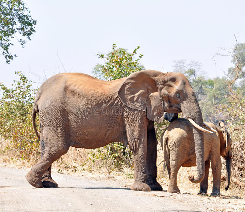 Afrikanischer Elefant-Kuh und Kalb lizenzfreie stockbilder