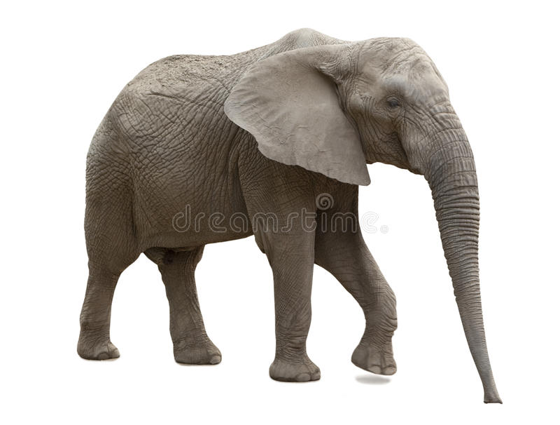 Afrikanischer Elefant lokalisiert stockfotos