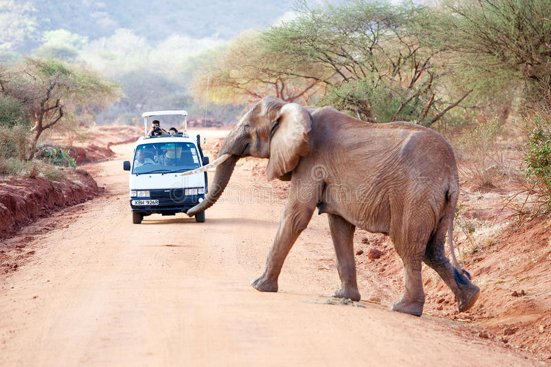 Afrikanischer Elefant (Loxodonta africana) stockfotos