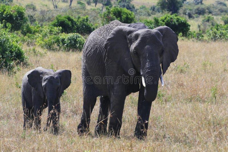 Afrikanischer Elefant, Loxodonta africana, Kuh mit jungem Kalb, Massai Mara Park, Kenia, Afrika stockfoto