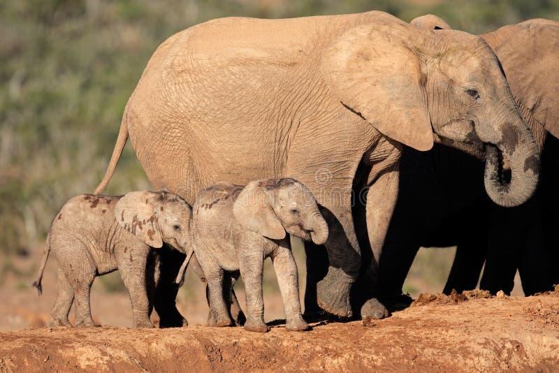 Afrikanischer Elefant mit Kälbern stockfoto