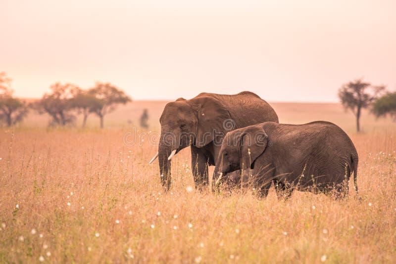 Afrikanischer Elefant-Paare in der Savanne von Serengeti bei Sonnenuntergang Akazienb?ume auf den Ebenen in Nationalpark Serenget lizenzfreies stockfoto