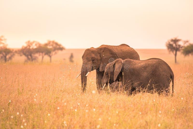 Afrikanischer Elefant-Paare in der Savanne von Serengeti bei Sonnenuntergang Akazienb?ume auf den Ebenen in Nationalpark Serenget lizenzfreie stockfotos