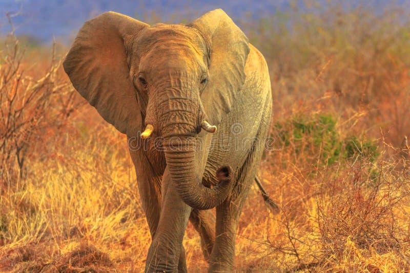 AFRIKANISCHER ELEFANT SÜDAFRIKA lizenzfreies stockfoto