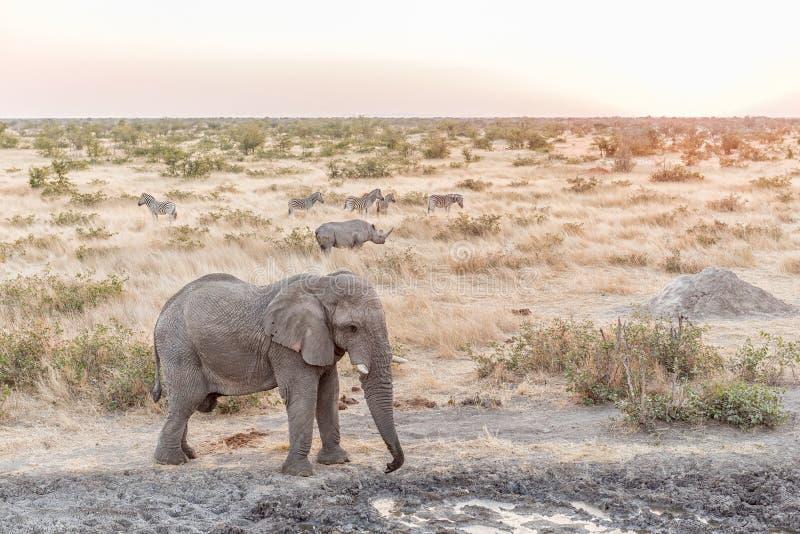 Afrikanischer Elefant, schwarzes Nashorn, Burchells-Zebra bei Sonnenuntergang lizenzfreie stockfotos