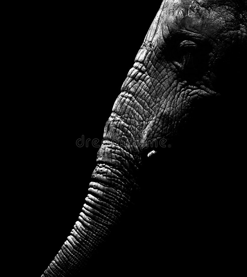 Afrikanischer Elefant in Schwarzweiss stockfotografie