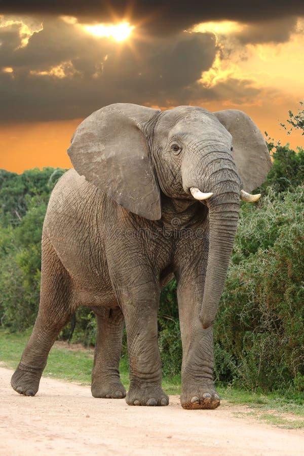 Afrikanischer Elefant am Sonnenuntergang lizenzfreies stockfoto
