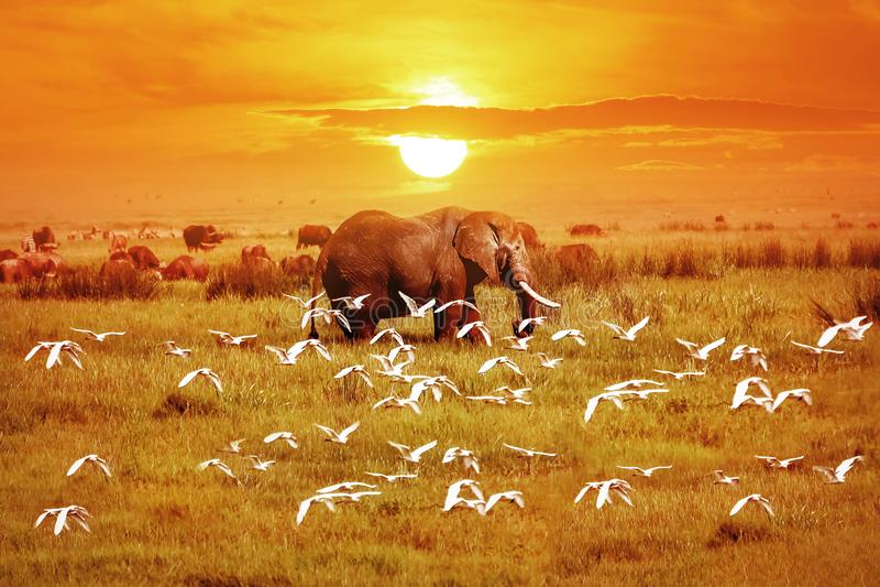 Afrikanischer Elefant und Vögel bei Sonnenuntergang afrika tanzania stockbilder