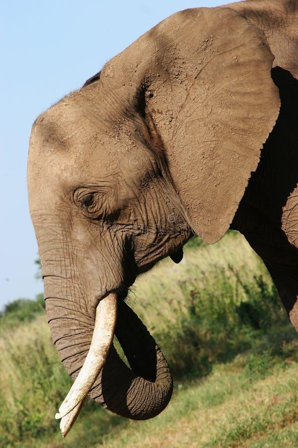 Afrikanischer Elefant in Zimbabwe stockbild