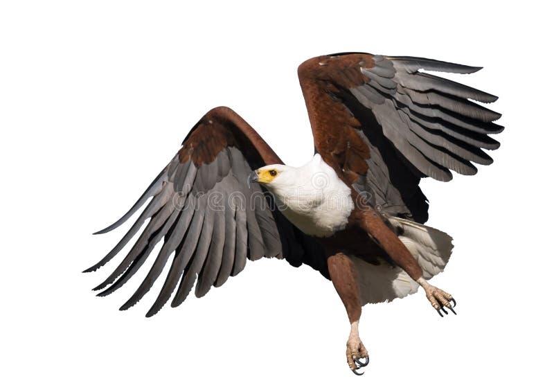 Afrikanischer Fisch-Adler getrennt stockfotos