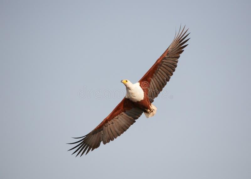 Afrikanischer Fisch-Adler (Haliaeetus vocifer) stockfotos