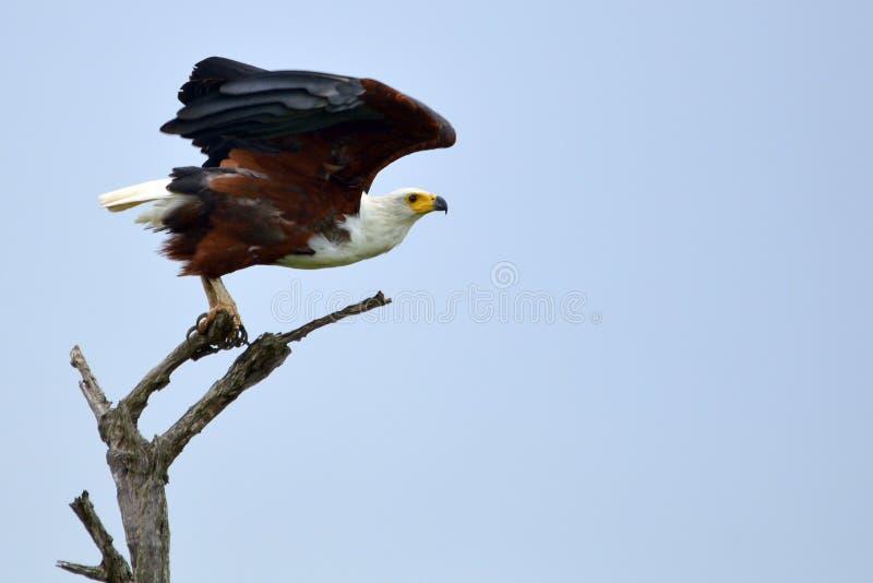 Afrikanischer Fisch-Adler (Haliaeetus vocifer) stockfotografie