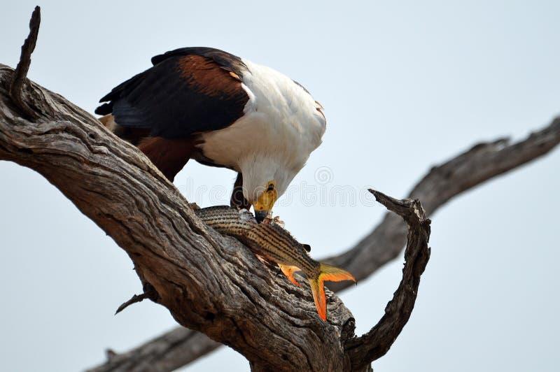 Afrikanischer Fisch-Adler (Haliaeetus vocifer) lizenzfreie stockbilder