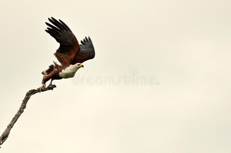 Afrikanischer Fisch-Adler (Haliaeetus vocifer) lizenzfreie stockfotografie