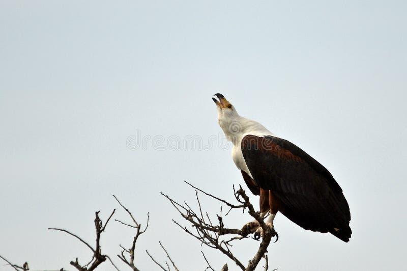 Afrikanischer Fisch-Adler (Haliaeetus vocifer) lizenzfreie stockfotos