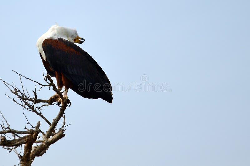 Afrikanischer Fisch-Adler (Haliaeetus vocifer) stockfoto
