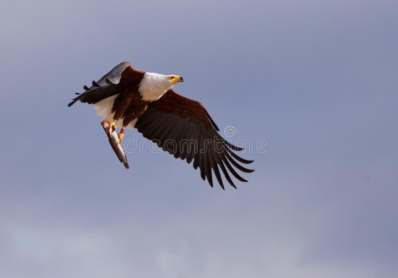 Afrikanischer Fisch-Adler mit Opfer lizenzfreie stockfotos