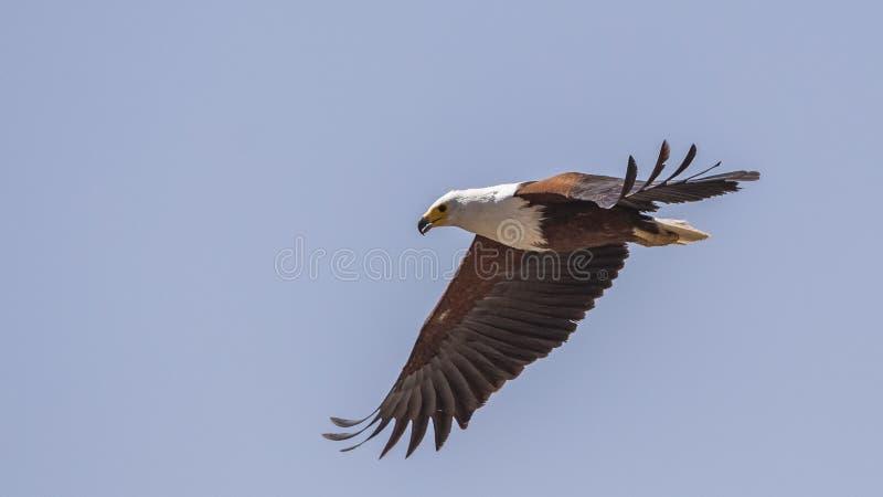 Afrikanischer Fischadler im Flug stockfotos
