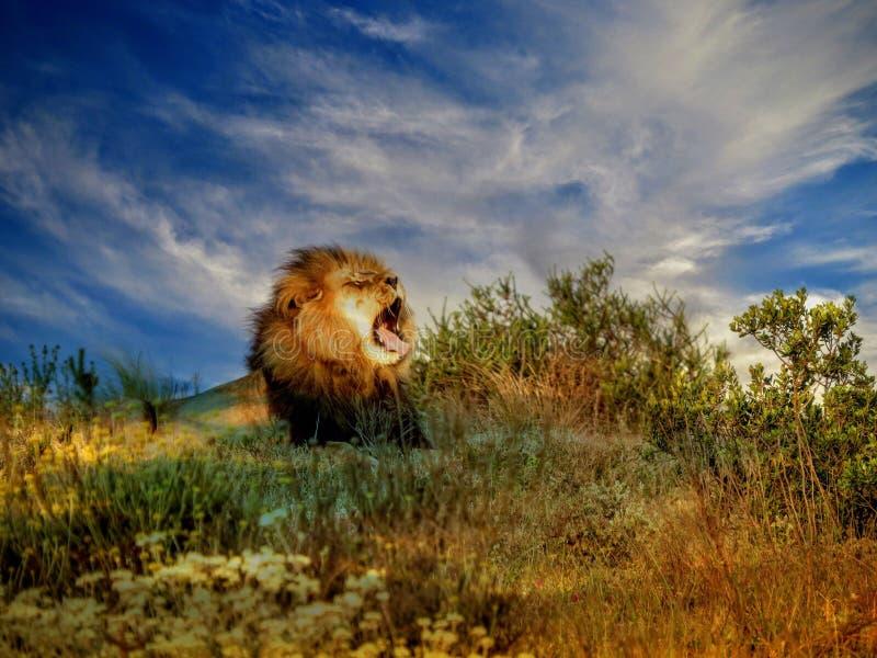Afrikanischer gähnender Löwe stockbild