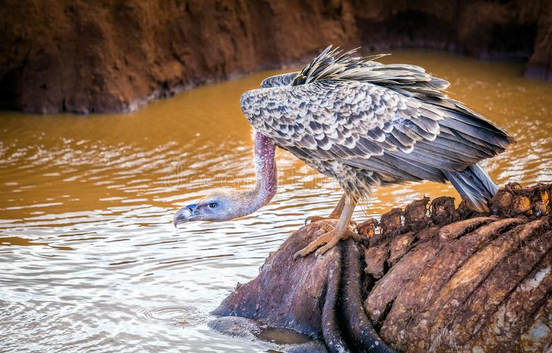 Afrikanischer Geier in Kenia stockbild