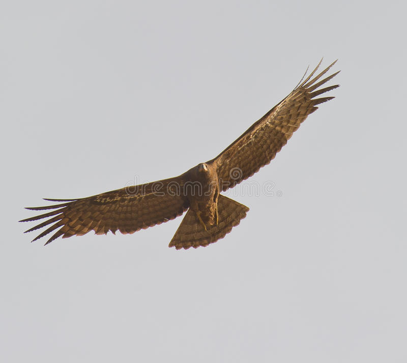 Afrikanischer Geländeläufer-Falke im Flug lizenzfreies stockbild