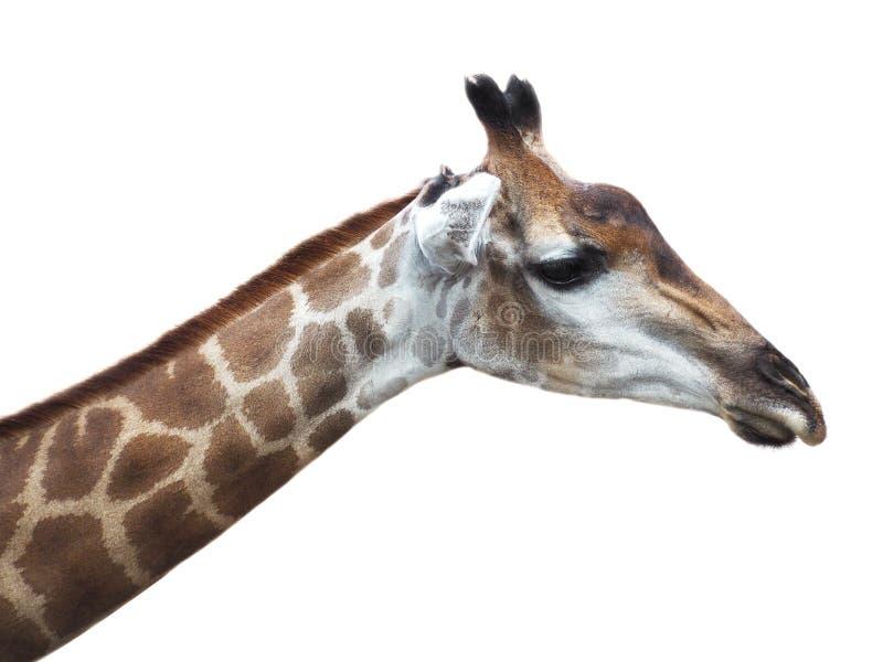 Afrikanischer Giraffenkopf lokalisiert auf weißem Hintergrund stockfotos