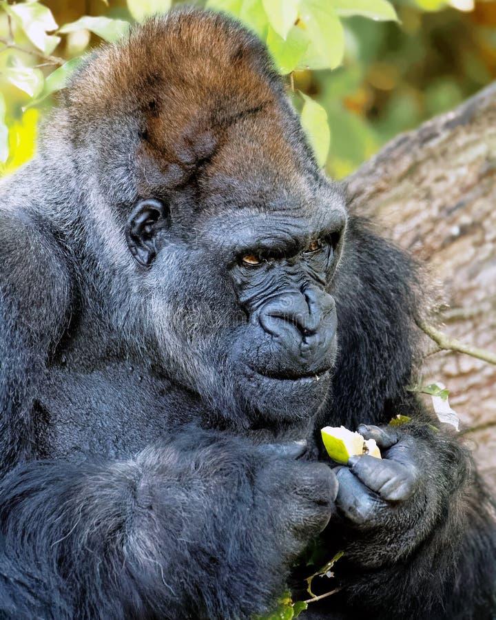 Afrikanischer Gorilla, der ein gelbes Stück Frucht hält lizenzfreie stockbilder
