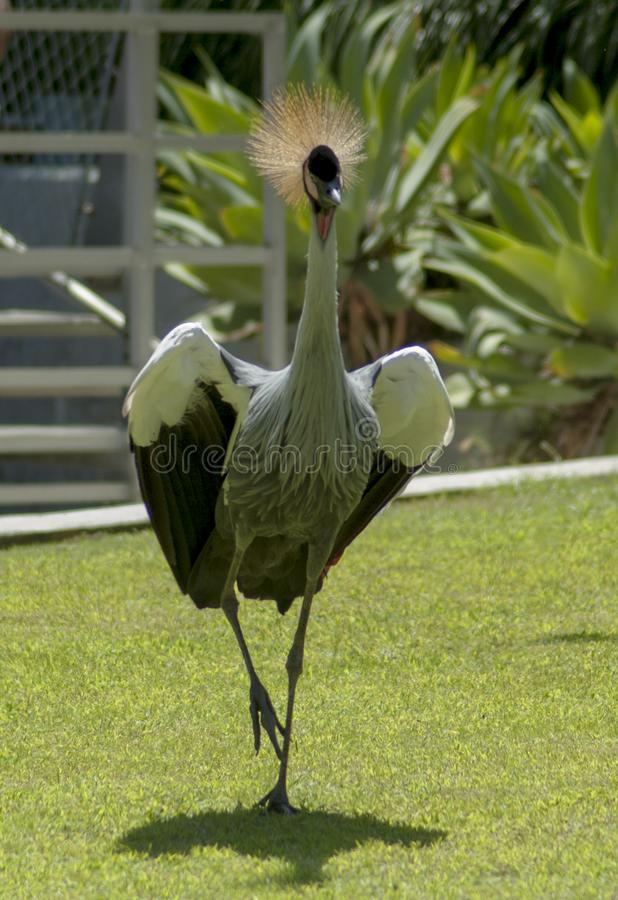Afrikanischer grauer gekrönter Kran läuft über Gras stockbilder