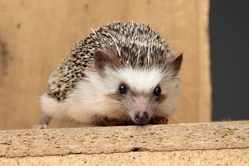 Afrikanischer Hedgehog mit schwarzem Pelz, der auf einem Brett liegt stockfotografie
