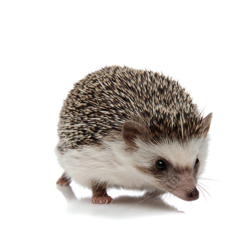 Afrikanischer Hedgehog mit schwarzem Pelz lizenzfreies stockbild