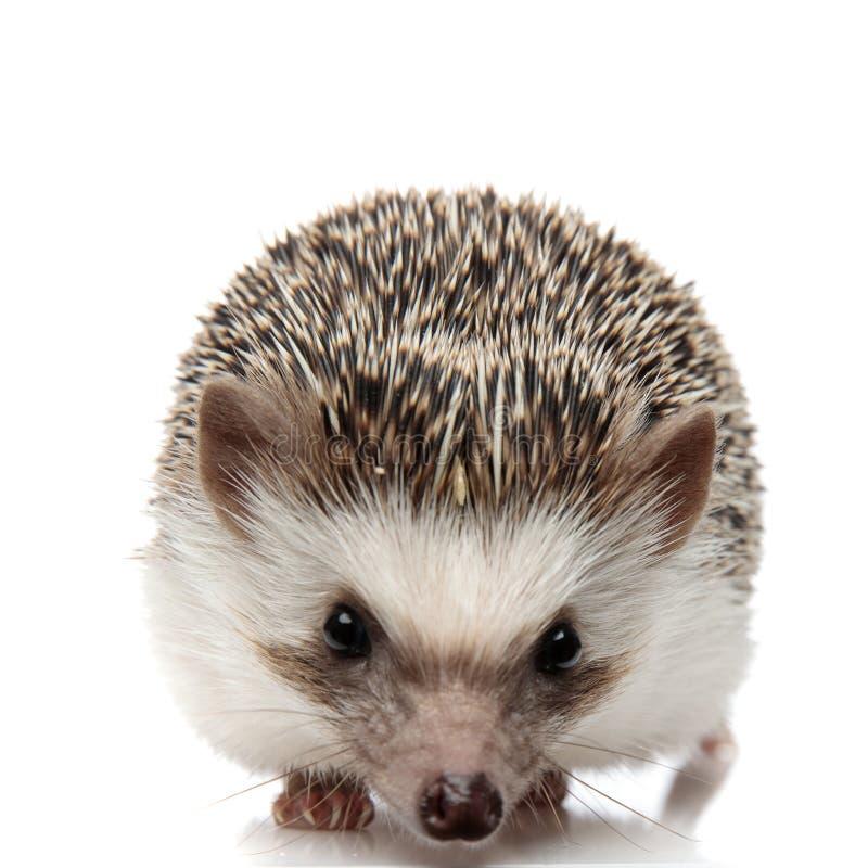 Afrikanischer Hedgehog mit schwarzem Pelzstehen und Kamerastarren stockfotografie
