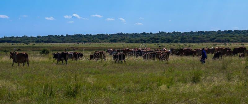 Afrikanischer Hirt und sein Vieh, die ausgeht weiden zu lassen stockfoto