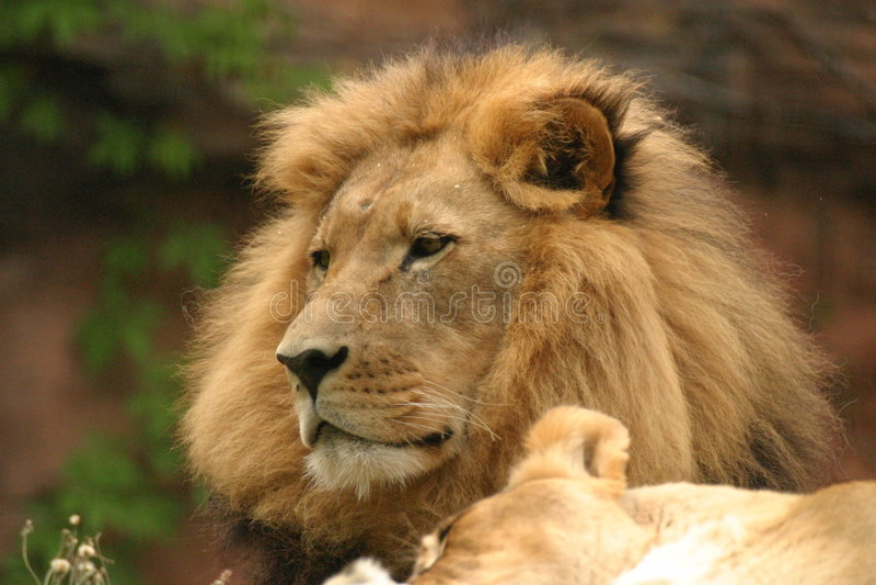 Afrikanischer Löwe stockbilder