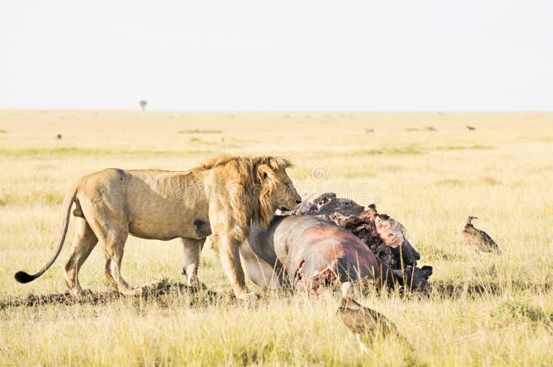 Afrikanischer Löwe, der Flusspferdfleisch genießt stockfotografie