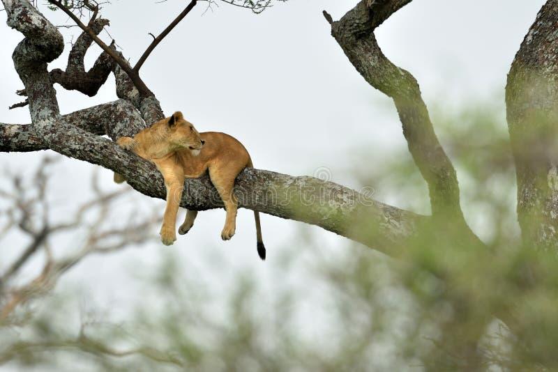 Afrikanischer Löwe, der im Baum im Naturpark, Serengeti stillsteht stockfotografie
