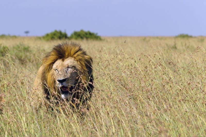Afrikanischer Löwe, der in lange Gräser geht stockfoto