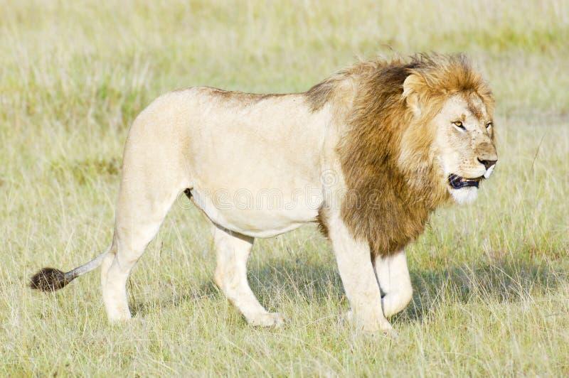 Afrikanischer Löwe, der in Savanne geht stockfotos