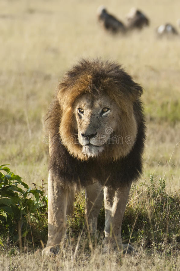 Afrikanischer Löwe, Masai Mara, Kenia stockfotografie