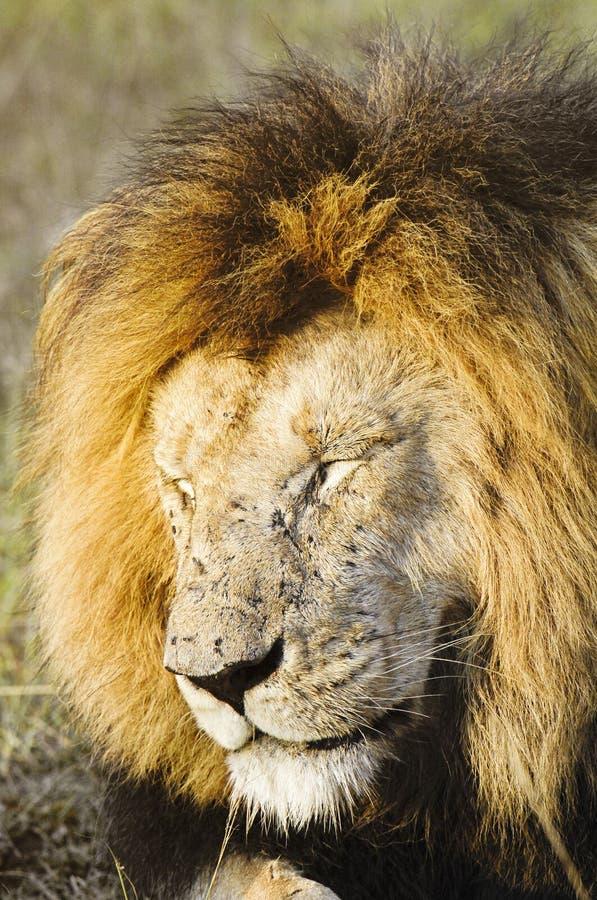Afrikanischer Löwe mit Fliegen überfluten alle über seinem Gesicht lizenzfreies stockbild