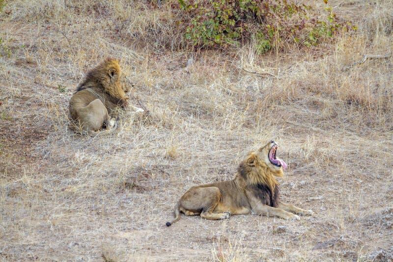Afrikanischer Löwe in Nationalpark Kruger, Südafrika stockbild